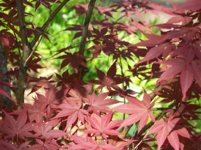 maple-leaves.jpg