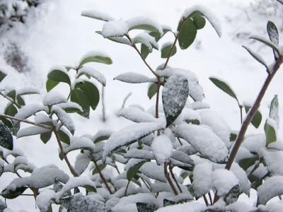 snowy-leaves.jpg
